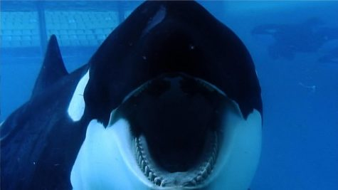 Orcas at SeaWorld often act aggressively due to their captivity.